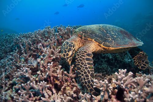 green-turtle-wielka-rafa-koralowa-australia