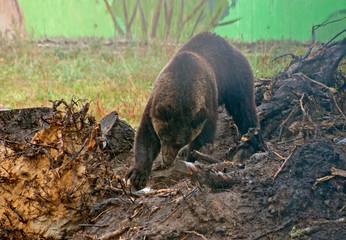 Brown bear (Ursus Arctos) digs ground in the rain