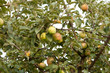 Урожай яблок на яблоне