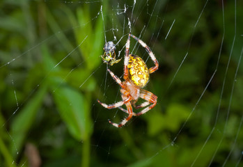 Spider on spider-web 18