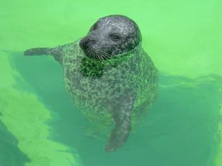 Seehund in grünem Wasser