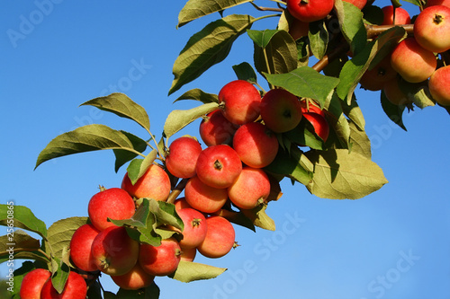 Branch of apple-tree with red apples