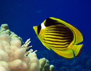 Pez mariposa del Mar Rojo
