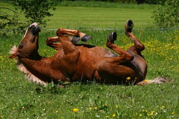 Pony beim Wälzen