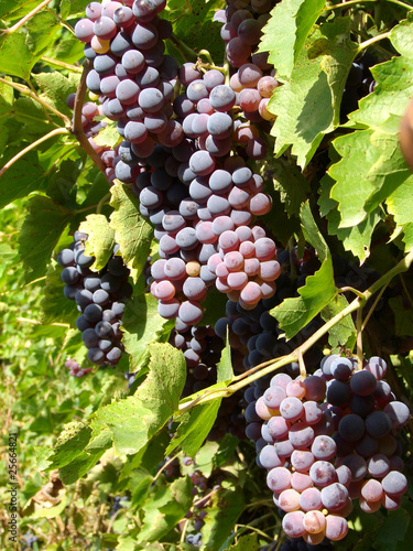 grape clusters on the vine