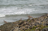Whimbrels (Numenius phaeopus) on sea rocks