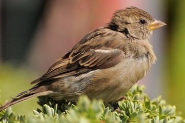 Close up on a house sparrow