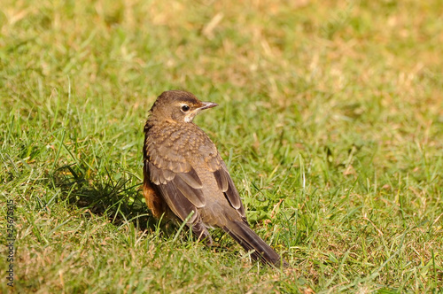 Juvenile American robin on the grass