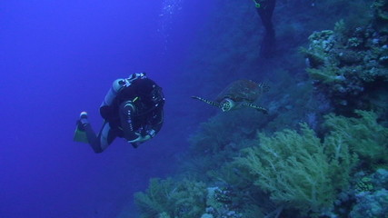 Scuba diver observing and close to a Hawksbill turtle
