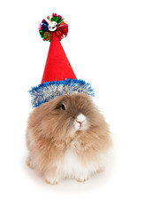 Lionhead rabbit in the New Year hat.