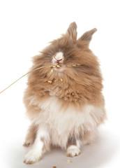 Rabbit eats an ear of wheat.