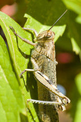 Locust on autumnal leaves of Virginia vine
