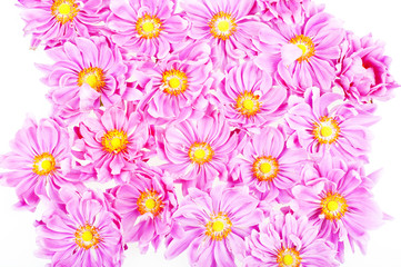 pink daisies isolated
