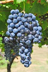 vineyard merlot