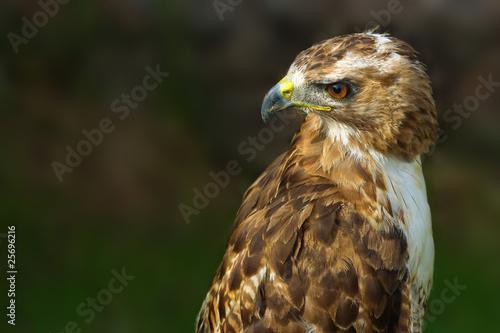 Poster bird of prey