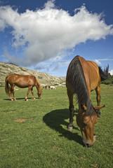 Corsica: cavalli al pascolo sul lago di Nino