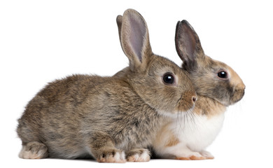 Portrait of European Rabbits, Oryctolagus cuniculus, sitting