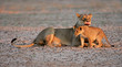Lioness with cub, South Africa