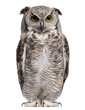 Great Horned Owl, Bubo Virginianus Subarcticus