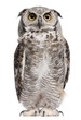 Leinwandbild Motiv Great Horned Owl, Bubo Virginianus Subarcticus