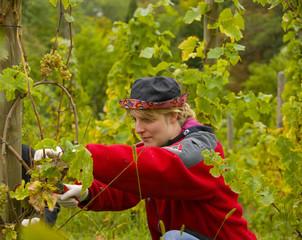 junge Frau bei der Weinlese