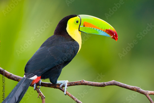 Canvas Toekan Keel Billed Toucan, from Central America.
