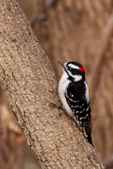 downy woodpecker on a tree branch
