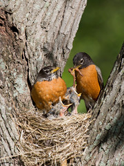 robins feed their young