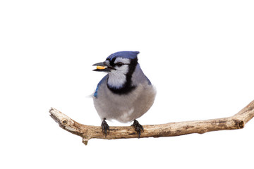 profileof bluejay with a kernel of corn