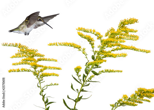 hummingbird and a goldenrod