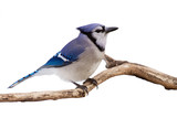 watchful bluejay on a branch
