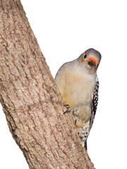 red-bellied woodpecker peaks around a tree truck