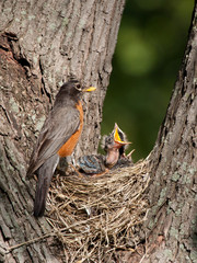 baby robin screams in hunger