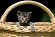 Junge Katze im Einkaufskorb