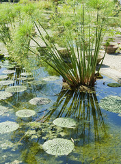 Lily Pads and Reeds at Monets Garden Giverny France