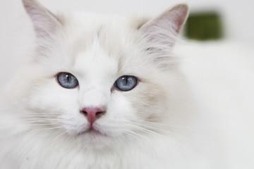 weiße katze,portrait