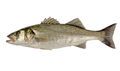 Freshly Caught Sea Bass (Dicentrarchus labrax) Isolated on White