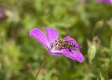 Honey bee pollinating on purple flower. Macro photo. poster