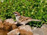 Thirsty Eurasian Tree Sparrow drinking water poster