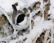 Parus montanus, Willow Tit