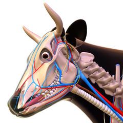 Cow head anatomy