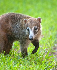 mexican raccoon looking for food on grass