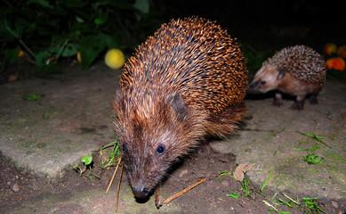 Igel hedgehog urchin
