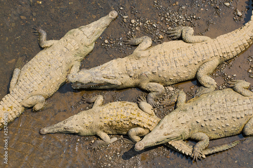 Fotobehang Krokodil American crocodiles, view from above.