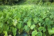 taro plants growing in a field