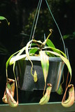 Leaves of carnivorous plant - Nepenthes poster