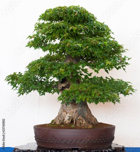 alter ahornbaum als bonsai von schwoab lizenzfreies foto 25760882 auf. Black Bedroom Furniture Sets. Home Design Ideas