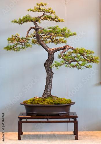 wald kiefer als bonsai stockfotos und lizenzfreie bilder. Black Bedroom Furniture Sets. Home Design Ideas