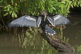 Anhinga water bird drying its plumage poster