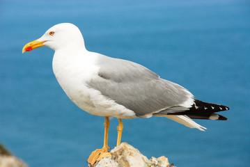 Seagull, Asturias